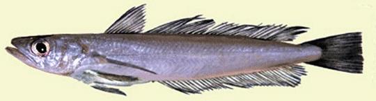 Merluccius merluccius